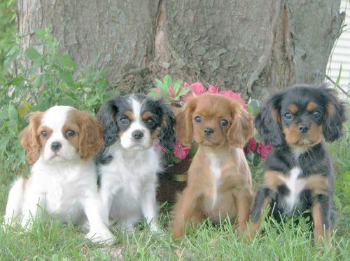 The Four Colors of Cavaliers